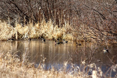 early April wood ducks