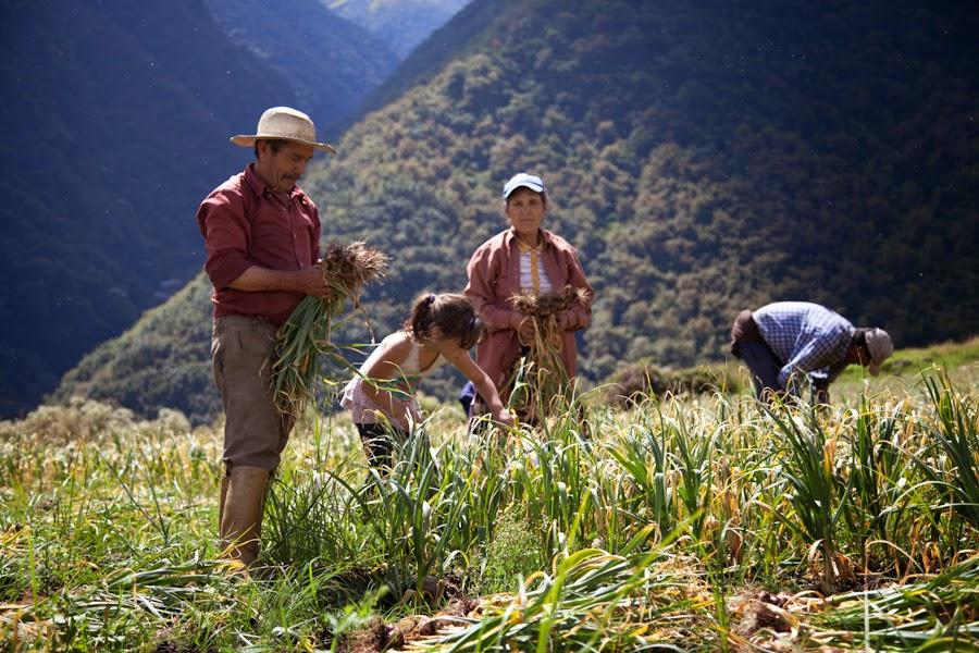 cosecha de ajo