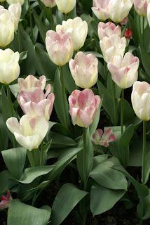 Tulipe forsteriana Flaming purissima - Tulipa Flaming purissima - Tulipe Flaming purissima