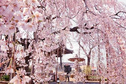 地蔵院しだれ桜 樹齢350年
