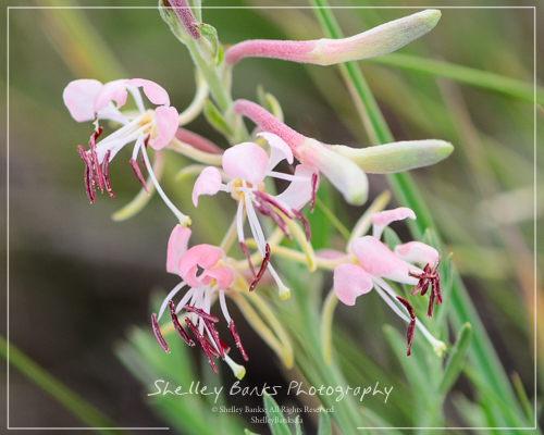 Scarlet Gaura. Copyright © Shelley Banks, All Rights Reserved.
