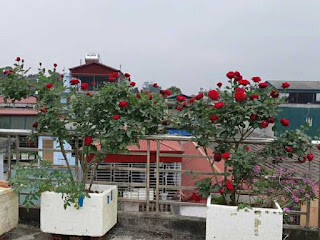 bí quyết để có một vườn hoa hồng đẹp là phân bón làm từ cá