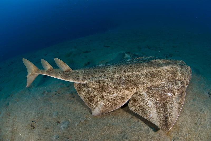 Tiburón angel