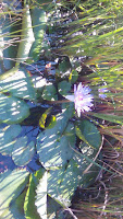 Water lilies on the pond,
