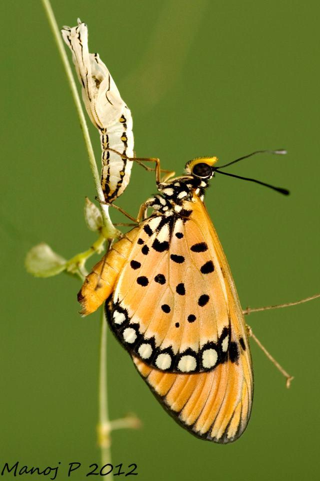 Xylia Xylocarpa: My Butterfly Garden: June 2012