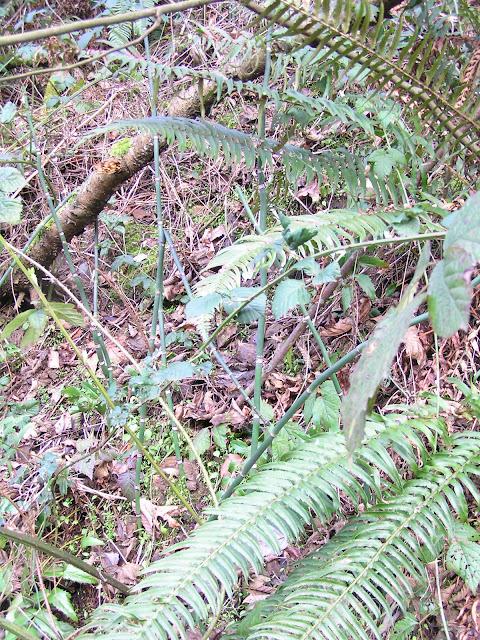 horsetail edible weeds