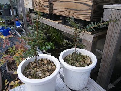 カヤ カヤの木 剪定 盆栽