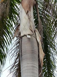 Palmier royal de Cuba - Palmiste - Roystonea regia