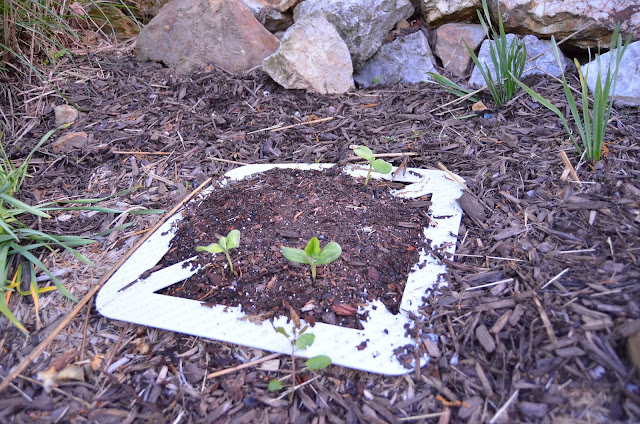 Heirloom Pumpkins Seeded in Perennial Beds