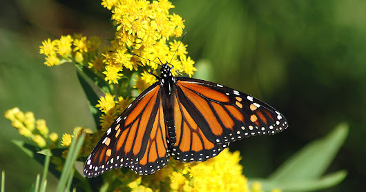 Monarch butterflies decline to historic low