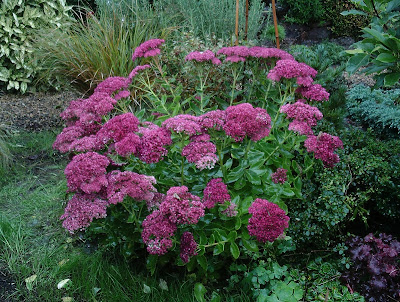 Sedum spectabile Green Fingered Blog