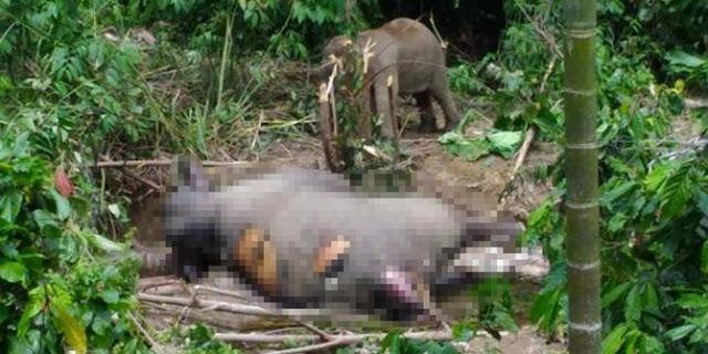 Ditemukan Gajah Tewas dengan Gading Hilang di Aceh