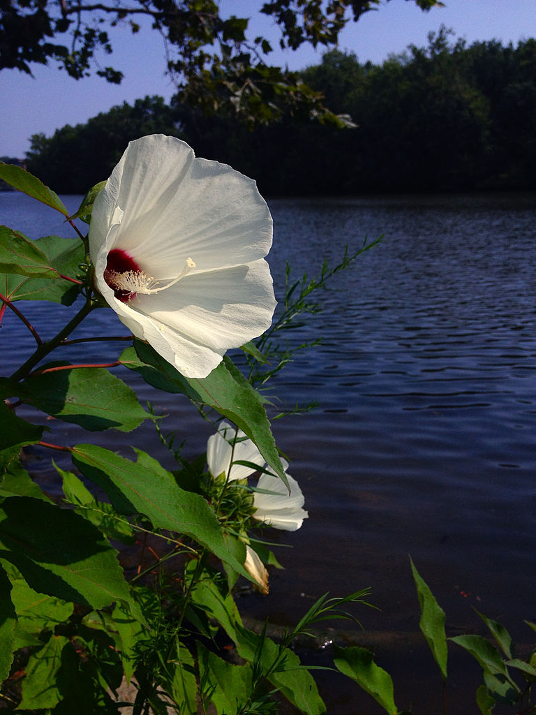 Earth And Space News Crimsoneyed Rosemallow Hibiscus Moscheutos