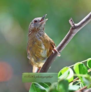 Suara Burung Tieu Mi