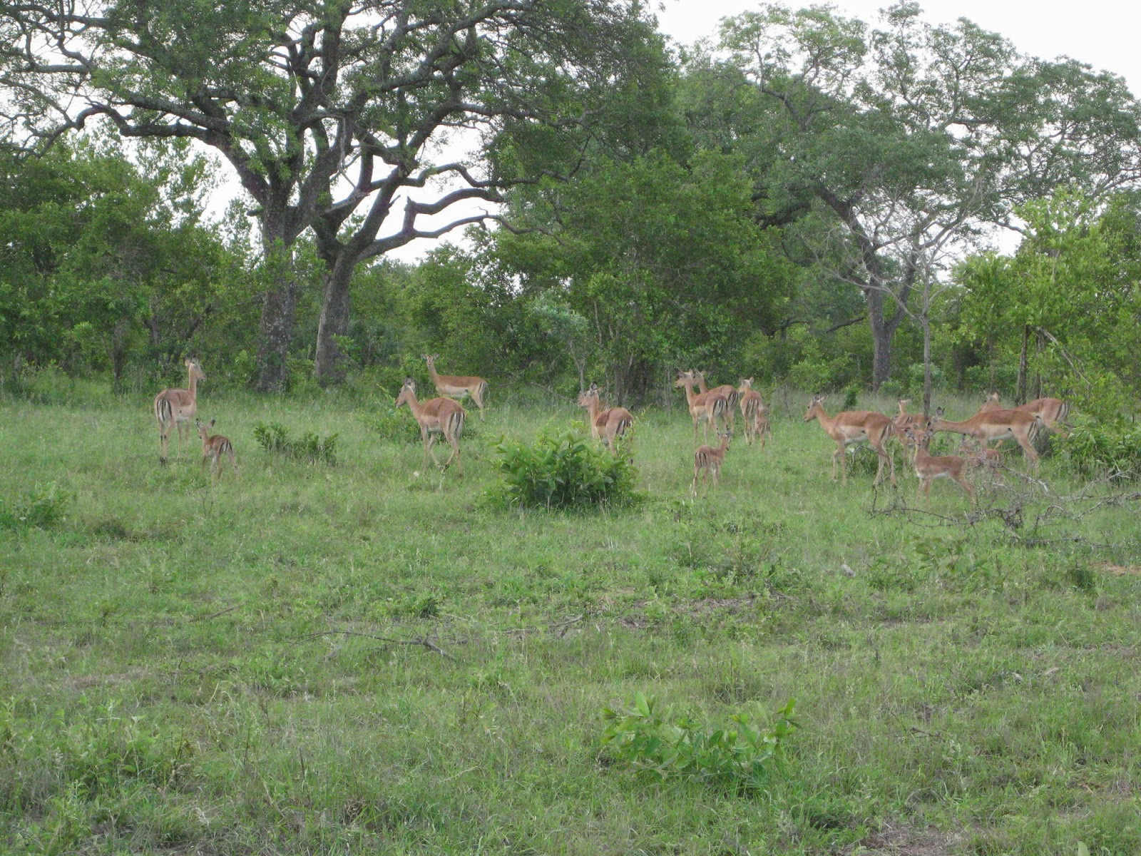 Sabi Sands - A group of impala