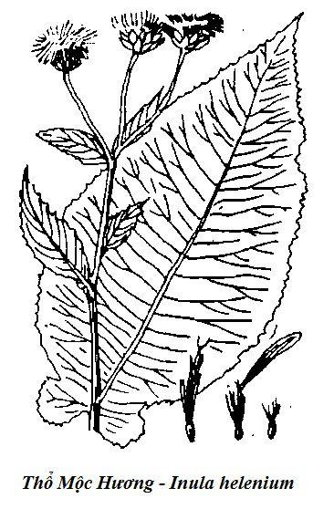 Hình vẽ Thổ Mộc Hương - Inula helenium - Nguyên liệu làm thuốc Chữa Bệnh Tiêu Hóa