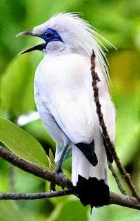 Kumpulan Mp3 Suara Burung Jalak Terbaru