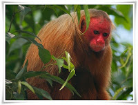 Uakari Monkey Animal Pictures