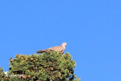 Tórtola turca (Streptopelia decaocto) más rosada que las palomas anteriores.