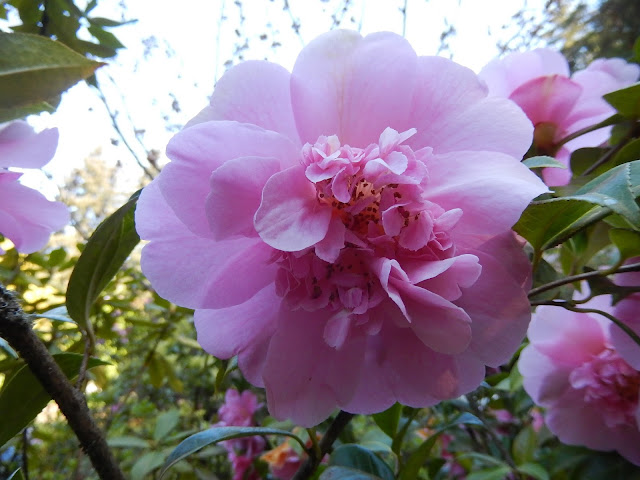 Pink Camellia, Thunder Bay
