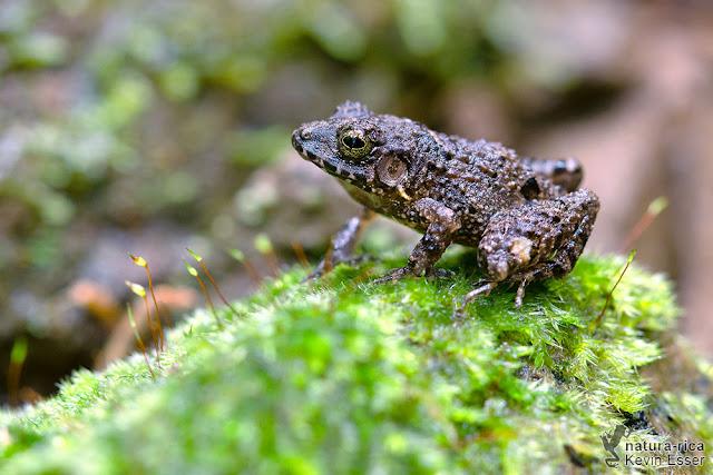 Craugastor bransfordii - Bransford's Robber Frog