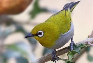 Kisaran Harga Voer Burung Pleci Terbaru Saat Ini Dan Paling Lengkap