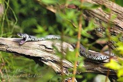 Barren-Ringelnatter (Natrix natrix helvetica) auf einer Wurzel