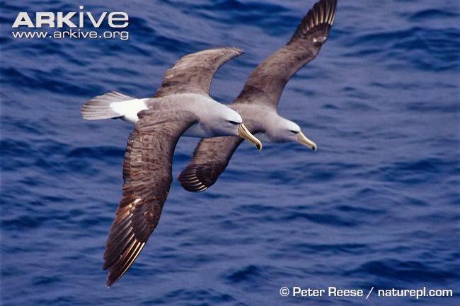 albatros de Salvin Thalassarche salvini