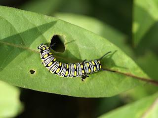 Chenille du Petit monarque - Danaus chrysippus