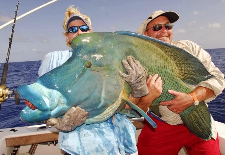 Big Fishes Of The World Maori Wrasse Cheilinus Undulatus