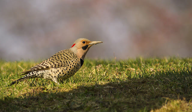 Ontario woodpeckers - Northern Flicker