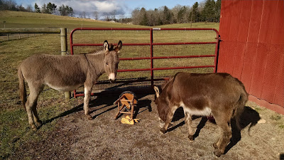 mini-donkeys-playing-in-North-Carolina