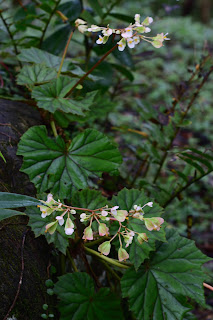Wild Begonia in Puriscal