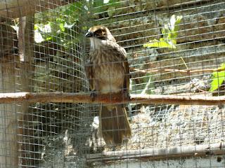 Burung Cucak Rowo - Cara Memaster Burung dan Pemasteran Burung  - Memelihara beberapa Burung Master. - Penangkaran Burung Cucak Rowo
