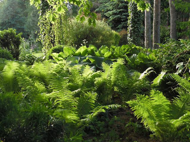 ogród leśny, paprocie i hosty