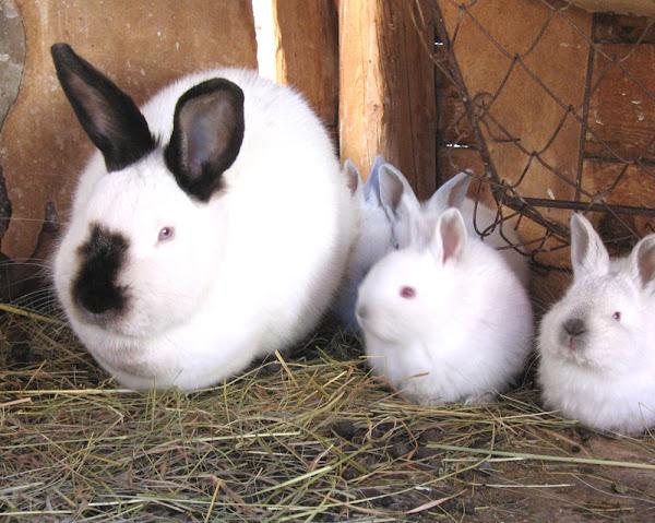 conejo californiano, conejos californianos, conejo blanco california, conejo californiano, información californiana, conejo californiano, conejo californiano, conejo californiano, conejo californiano, conejo californiano conejo, origen de conejo californiano, color de pelaje de conejo californiano, peso californiano de conejo, color de ojo de conejo californiano, conejo californiano de carne, pelaje californiano de conejo, imágenes californianas de conejo, kits californianos de conejo, variedades californianas de conejo, foto de conejo californiano, fotos californianas de conejo, el conejo californiano usa