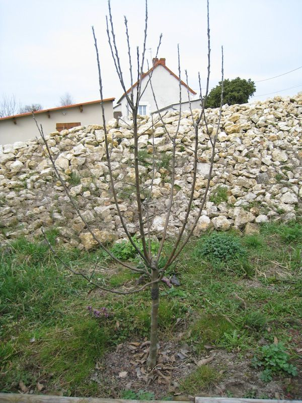 arquer les branches charpenti res de vos arbres fruitiers le belge malin. Black Bedroom Furniture Sets. Home Design Ideas