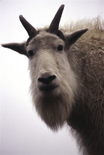 picture of a mountain goat named GoatsDaddy