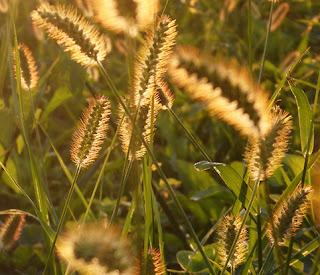 Espigas doradas del almorejo (Setaria pumila)