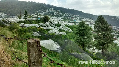 Apple Orchards of Shimla