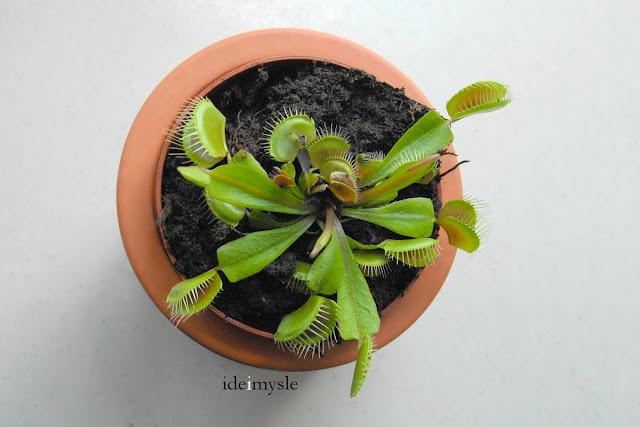 owadożerna roślina doniczkowa, dionaea muscipula