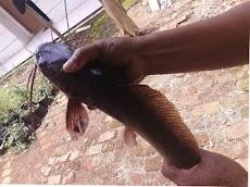 Memilih indukan ikan lele berkualitas