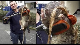 James Green showing the monster rat caught in London.