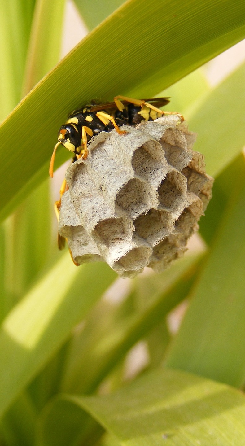 A wasp's nest attached to a leave blade.