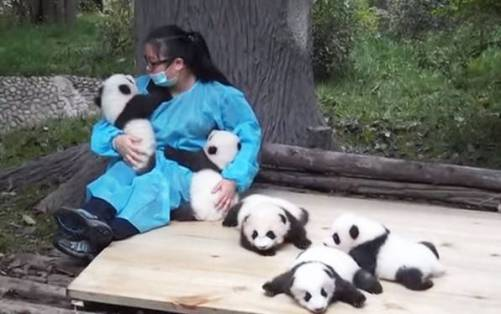 bekerja menjadi pengasuh panda - gaji besar