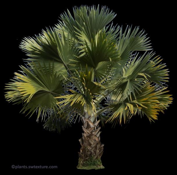 tropical plant pictures  bismarckia nobilis