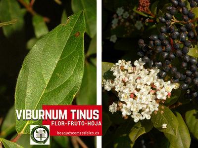 Viburnum tinus, Durillo, como son la  flor, fruto y hoja