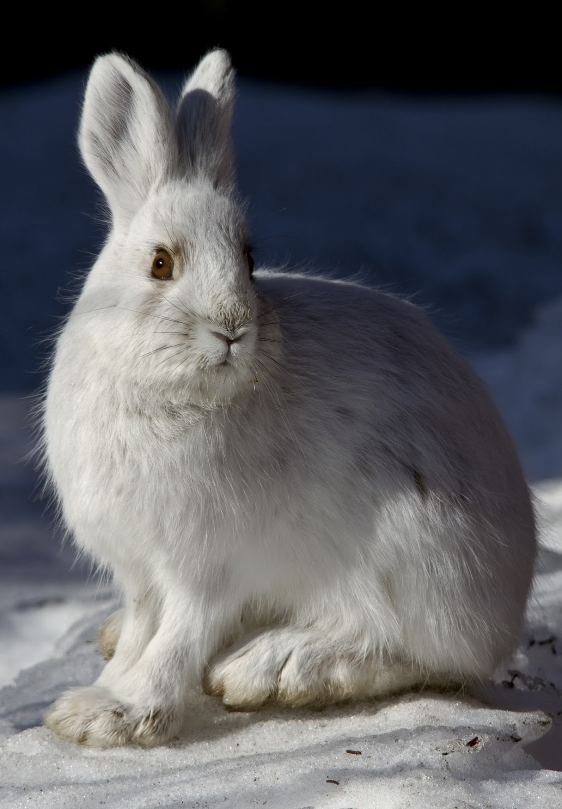 A photo of a snowshoe hare