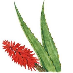 Babosa, a famosa Aloe vera entra na composição de vários xampus e cremes feitos com a polpa branca de suas folhas