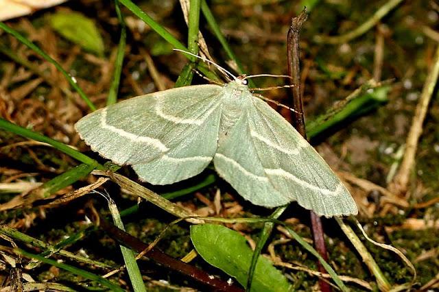 Hylaea fasciaria ssp.prasinaria, Zweibindiger Nadelwald-Spanner